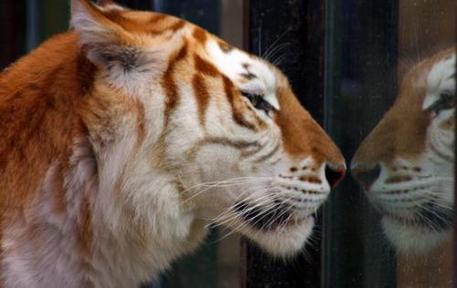 tiger-v-zrkadle