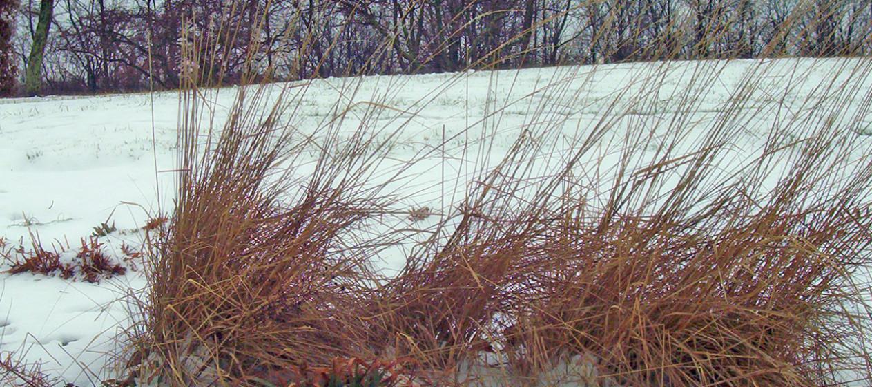 decorative-grass-in-snow