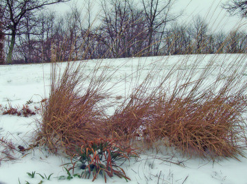 decorative-grass-in-snow